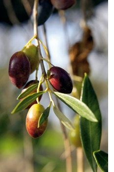 We think olive trees are just beautiful