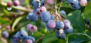 Don't+Become+Blue:+Easy+Tips+for+Growing+Blueberries