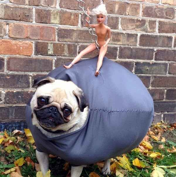 I guess you could say she smashed the competition... LIKE A WRECKING BALL.   This Pug Dressed As Miley Cyrus' Wrecking Ball Is The Best Costume Of All Time