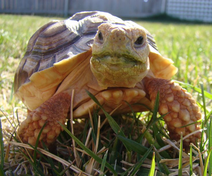 tortoise my pet Knowing how to take care of a pet tortoise is the first step to becoming a great tortoise parent this pet tortoise care guide will be a great help.