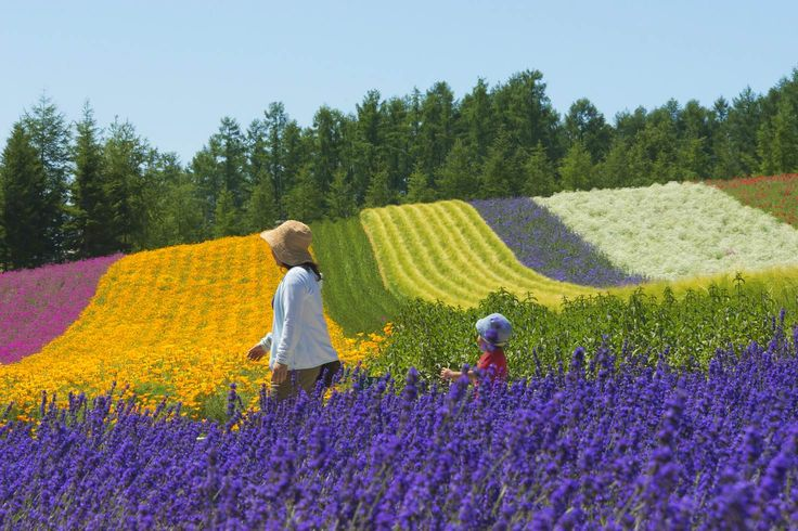 Tourists at lavender farm, Furano, Hokkaido Prefecture, Japan