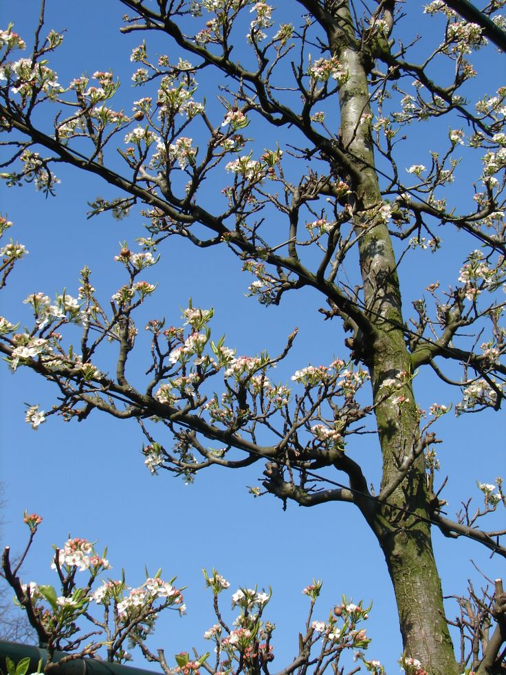 Pyrus calleryana Chanticleer (Leipeer), prachtige, talrijke witte bloemen