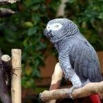 African Grey Parrot desktop