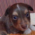 Flynn - A Miniature American Shepherd Puppy