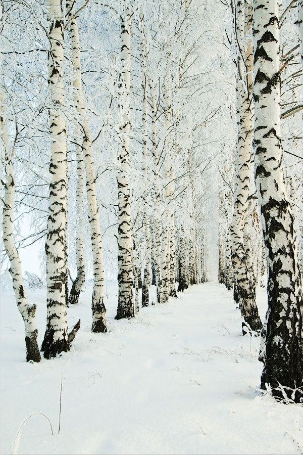 Birch trees in winter