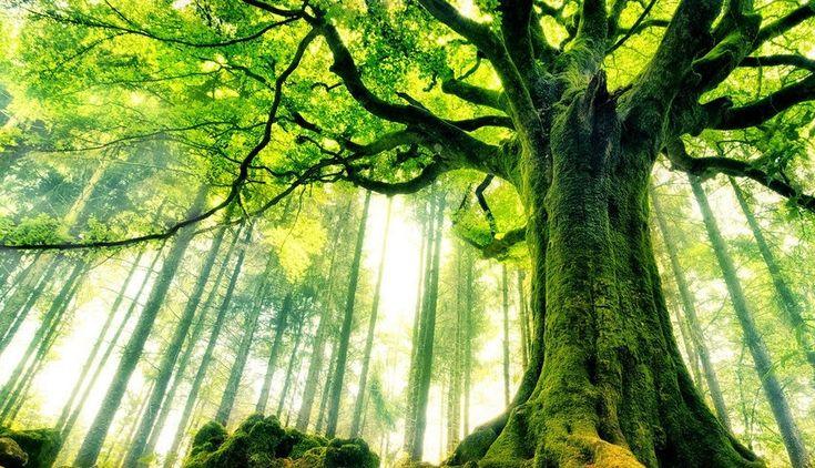 Das Geheimnis um die Kraft der Bäume - Wie heimische Bäume unsere Gesundheit unterstützen können - ☼ ✿ ☺ Informationen und Inspirationen für ein Bewusstes, Veganes und (F)rohes Leben ☺ ✿ ☼