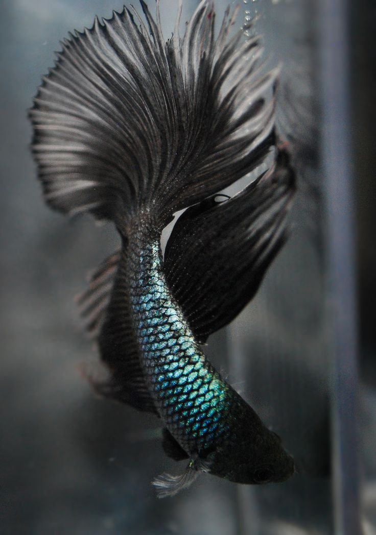 Beta fish This one is beautiful. I love the colors. Especially black. Incensewoman  My girls love their fishy fishy  We've had him for 4 years: