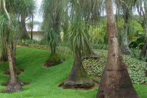 33 best images about jardin on pinterest artificial turf - Planta pata de elefante ...