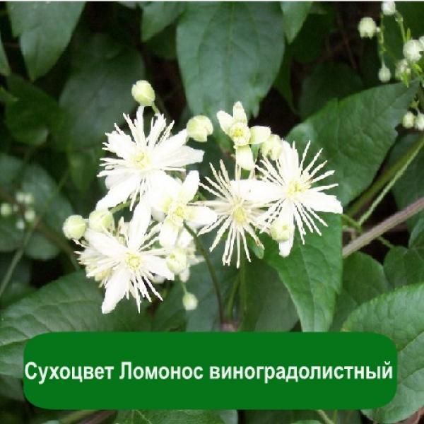 Сухоцвет Ломонос виноградолистный, 1 кг