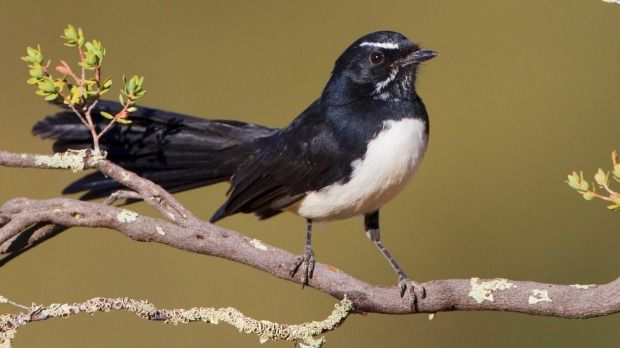 Willie wagtail sightings have declined since 1999.