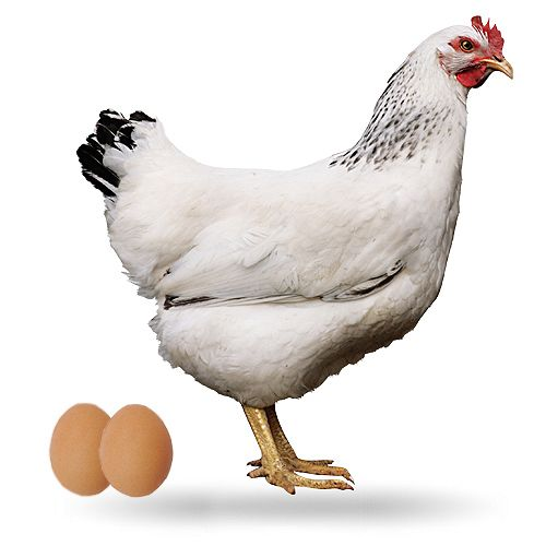 HTS-ponedora-La Sussex es una raza de gallina proveniente del condado de Sussex, de donde recibe su característico nombre; más concretamente, proviene del club de la raza Sussex que se formó en 1903. (500×500)
