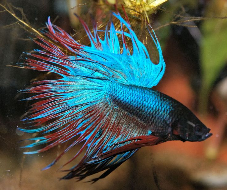 55 best images about pet fish on pinterest tropical fish for Betta fish sale