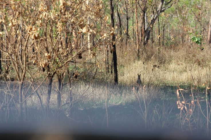 Curious Wallaby at the side of the the Old Jim Jim Road. Kakadu National Park