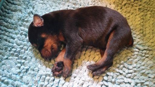 Doberman Pinscher puppy for sale in CHICAGO, IL. ADN-52079 on PuppyFinder.com Gender: Male. Age: Under 1 Week Old