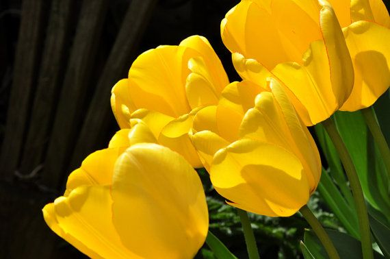 Bright yellow tulips bending in the wind in sunlight by #greenelent #fpoe