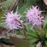 Heloniopsis_orientalis