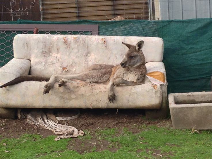Kangaroo chillin on a sofa...on way to Sydney from Melbourne