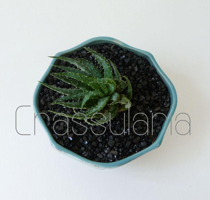 Haworthia petrophila. www.facebook.com/suculentascrassularia