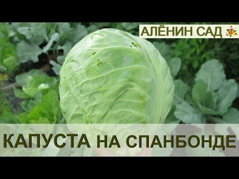 СУПЕР КАПУСТА на спанбонде. ПОСАДКА / Growing Cabbage on Spunbond. 1 - YouTube
