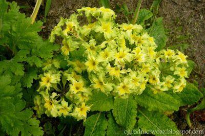 Ogrodnictwo od A do Z : Pierwiosnek 'Francesca'- Primula polyantha 'France...
