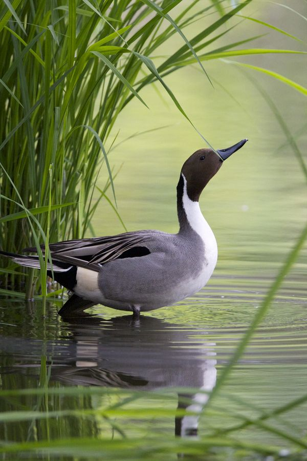 Northern Pintail by Joe Motohashi*