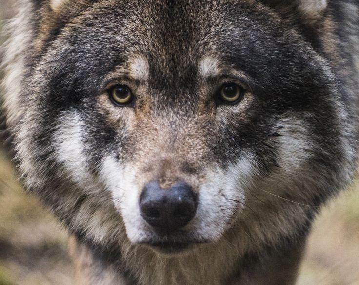 Male wolf in Ähtäri Zoo