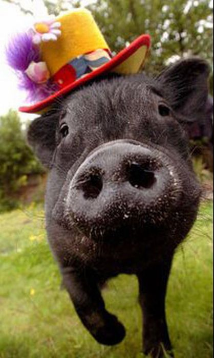 Hahahahaha!!!!!!!!!!!!!!!!! It's a piggy in a funny hat!