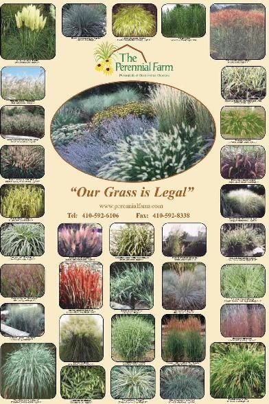 233 best images about graceful grasses on pinterest for Ornamental oat grass varieties