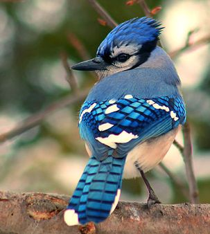 arrendajo azul-blue jay-cianocitta cristata