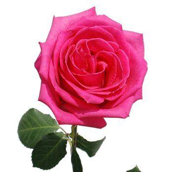82 best dark pink wedding flowers images on pinterest wedding fiftyflowers ravel hot pink rose mightylinksfo Images