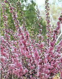 Résultat de la recherche avec Nom=Prunus triloba - Pépinière, plantes, jardinerie, achat en ligne