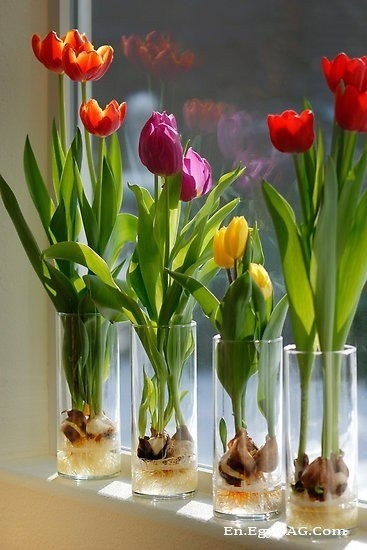 Flowers ? Indoor Tulips ???