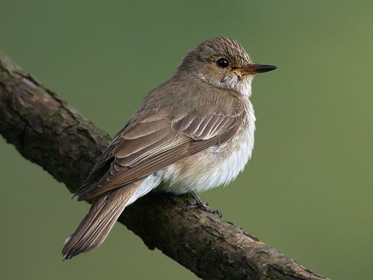 Spotted Flycatcher (Muscicapa striata) by Martin_Mecnarowski.