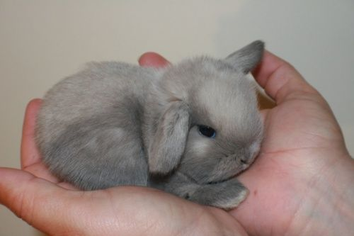 My dream pet bunny. Soooo cute!! I'd love a mini lop, either white or grey!!