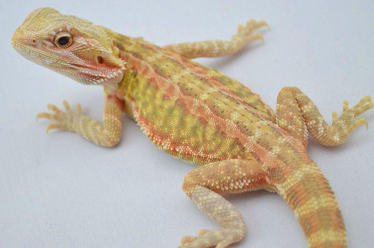Sunburst bearded dragon - photo#5