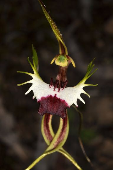 Caladenia tentaculata--This orchid reminds me of a cat, don't know why, but it does.