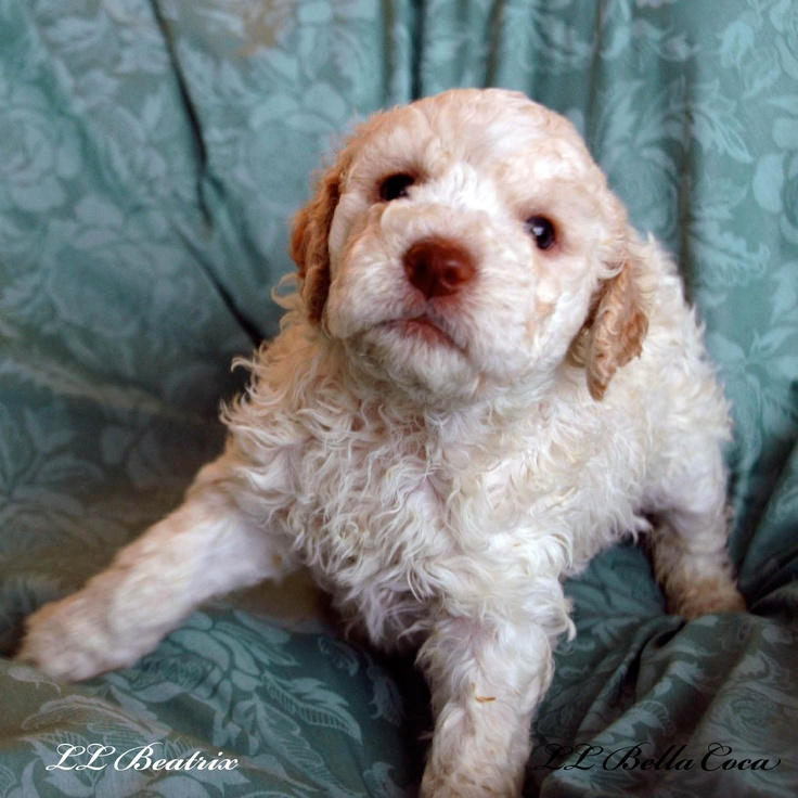 Lagotto Truffle Dogs: Lagotto Romagnolo Pup At Four Weeks Old.