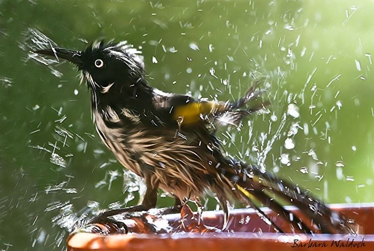 """Got a towel?"" New Holland Honeyeater takes a dip at the birdbath. Photography by Barbara Waldoch #Bird #Wildlife #Nature"