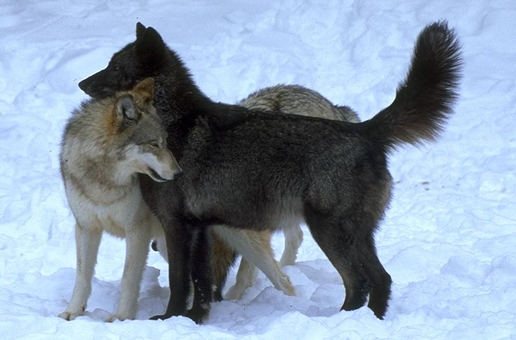 wolf dominance behavior | ... wolf note how the ...
