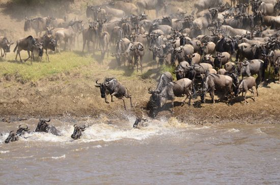 Masai Mara National Reserve is one of the most popular tourism destinations in Kenya- Africa. The reserve is located in the Great Rift Valley in read more