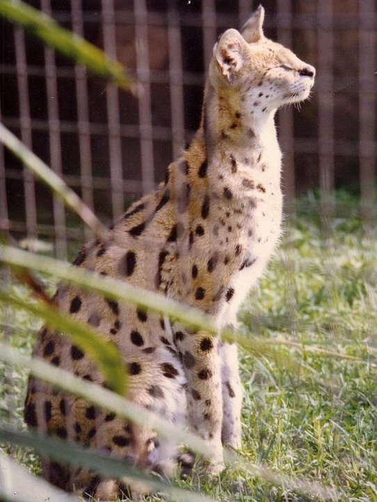 The Beautiful Serval at the Melbourne Zoo, Melbourne Australia