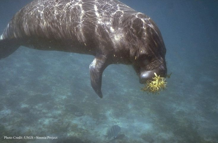 Manatees: Facts About Sea Cows