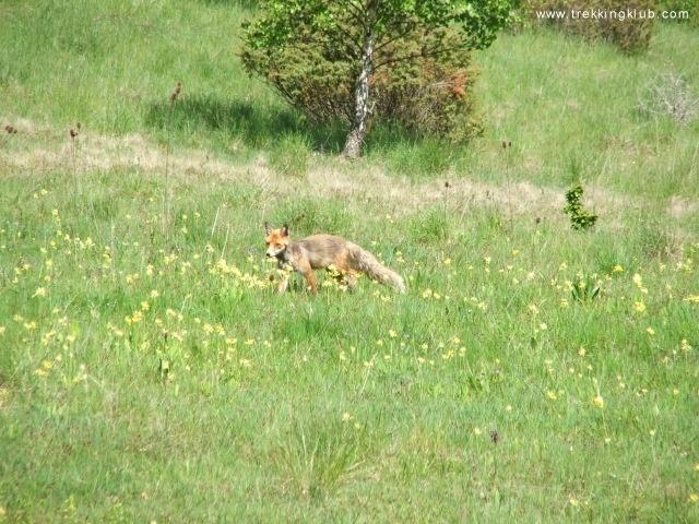 Fox near Balvanyos Bath, Transylvania