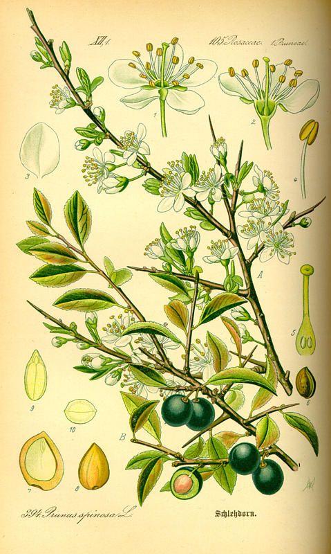 Prunus spinosa / Otto Wilhelm Thomé, Flora von Deutschland Österreich und der Schweiz (1885)