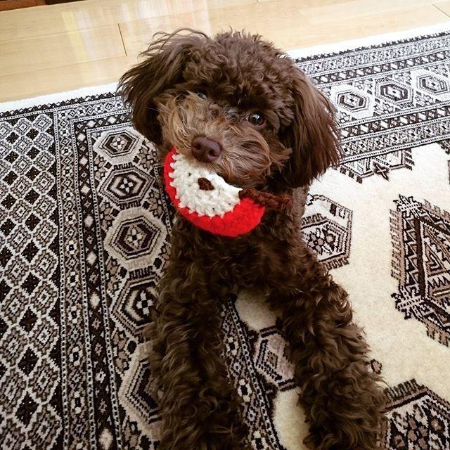・ 気付いたらリンゴで遊んでた ・ どこから持ってきたのぉ(*´艸`*) ・ 何枚も撮ってたらスンって顔になってきた(ฅฅ*) ・ ごめんね だって可愛いんだもの。。(〃_ _)σ∥ ・ ・ ・・・ #鍵編み #リンゴ #オモチャ #練習で編んだからいびつ #頑張ってくわえてるwww #奇跡の1枚 #ハイ親バカです #Josee #ジョゼ #愛犬 #親バカ #過保護 #犬 #トイプードル #poodle #toypoodle #dog #all_dog_japan #わんこなしでは生きていけません会 #ふわもこ部 #犬バカ部 #犬との暮らし #小さな命を守る会Instagram部 #tokyozero