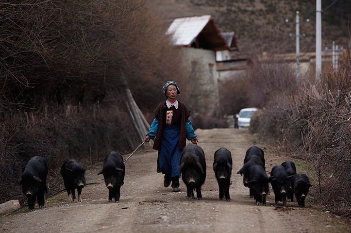 Tibetan pig farming. A little different to the UK: Pigs Farms, Tibetan Pigs