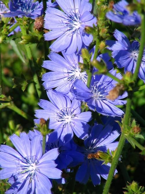 1000+ images about Cichorium on Pinterest | Horticulture ...
