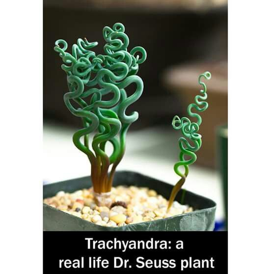 trachyandra plant i want one but i have cats can 39 t have
