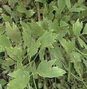 LAVAS-Maggikruid (Levisticum Officinalis) Lavas groeit zowel op zonnnige als op halfschaduwplaatsen. In de keuken kan zowel wortel, stengel, blad als de zaden van lavas gebruikt worden. De verse bladeren geven een pittige smaak aan soep, saus, roereieren, spinazie, wortelen en aardappelen. Ook bij runds- en lamsvlees is lavas een echte aanrader. Voor mensen die een zoutloos dieet volgen kan lavas een smaakmaker zijn, evenals zuring kan lavas zout in gerechten vervangen.
