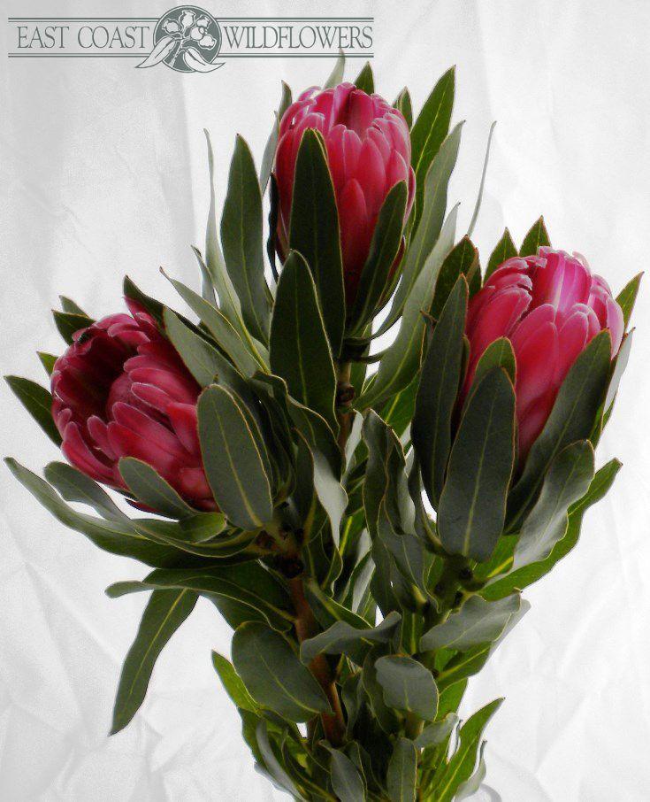 PROTEA BRENDA available Apr-Oct. Big bright pink raspberry flower, velvet feel…